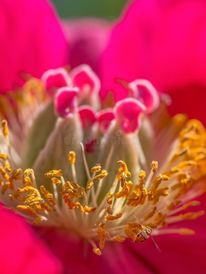 Macro estrema del primo piano delle specie della mosca del fiore sul bello wildflower di fioritura rosso e giallo - nel Minnesota fotografia stock libera da diritti
