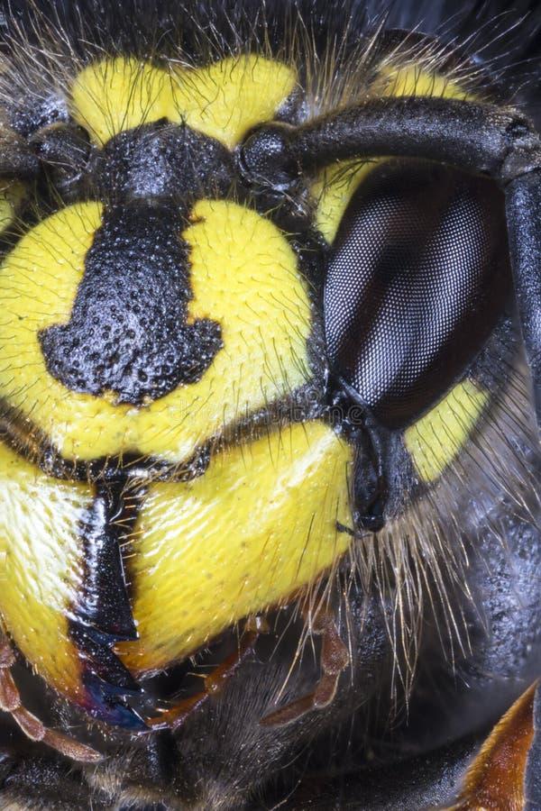Macro estrema della testa della vespa comune & di x28; Vulgaris& x29 della vespula; da fotografia stock libera da diritti