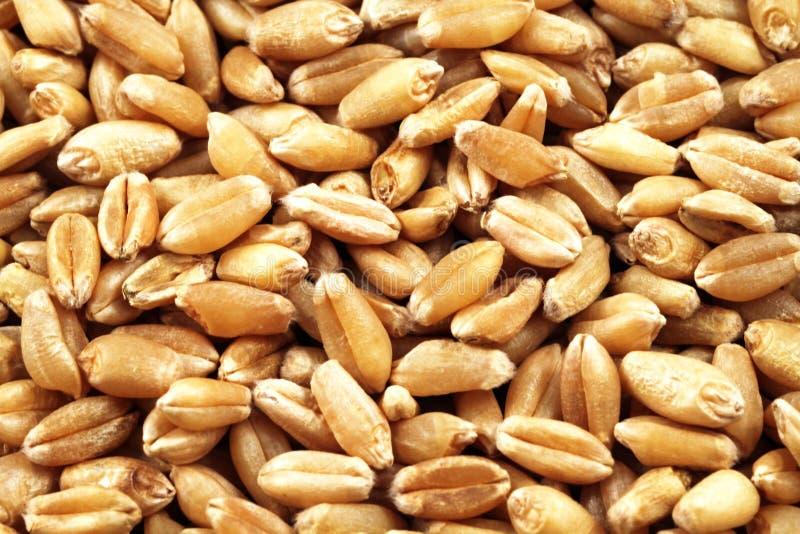 Macro estupenda de las bayas de trigo imagen de archivo
