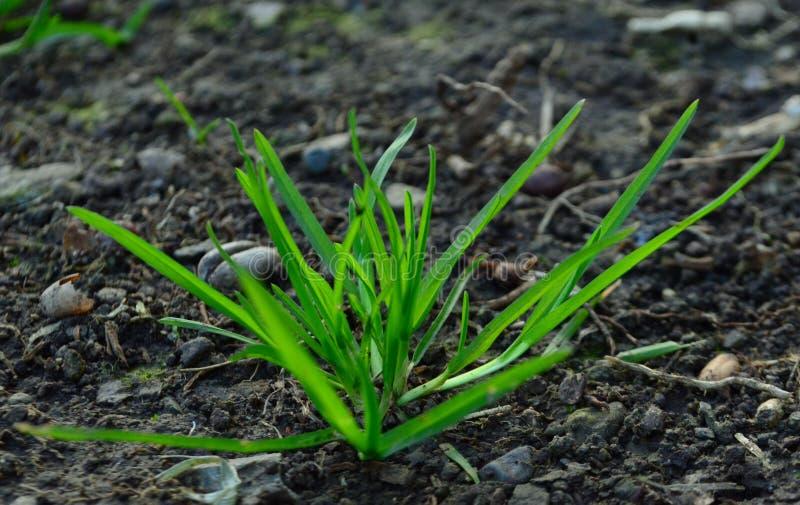 Macro extérieur d'herbe de croissance photographie stock libre de droits