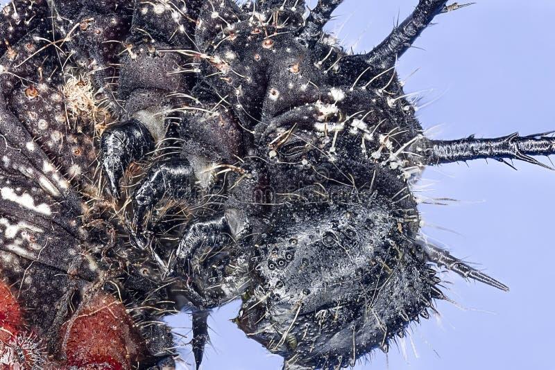 Macro extrema de la oruga roja melenuda fotos de archivo libres de regalías