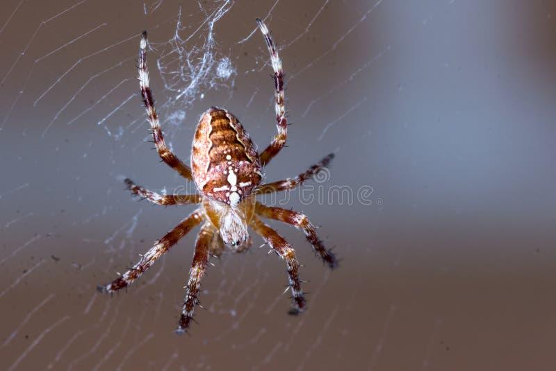 Macro extrema del primer de la araña nacional en el web con el fondo oscuro imagenes de archivo