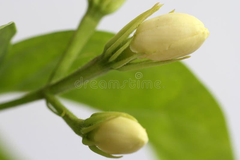 Macro extremo da flor do jasmim fotografia de stock