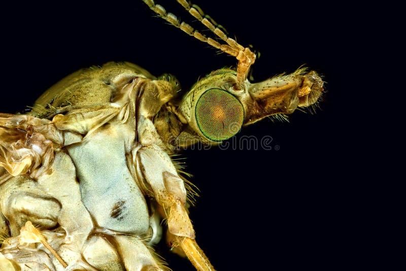 Macro extremo de uma mosca de guindaste fêmea imagens de stock