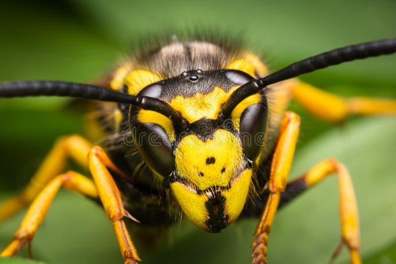 Macro extremo do retrato da vespa muito detalhado e afiado imagens de stock royalty free