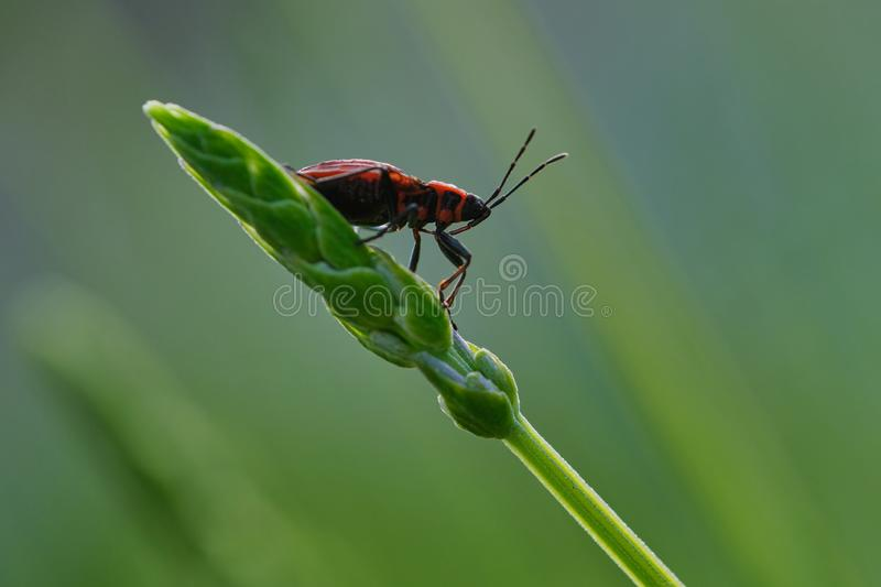 Macro of female red longhorn beetle on a green branch. Female red longhorn beetle on a green branch royalty free stock photography