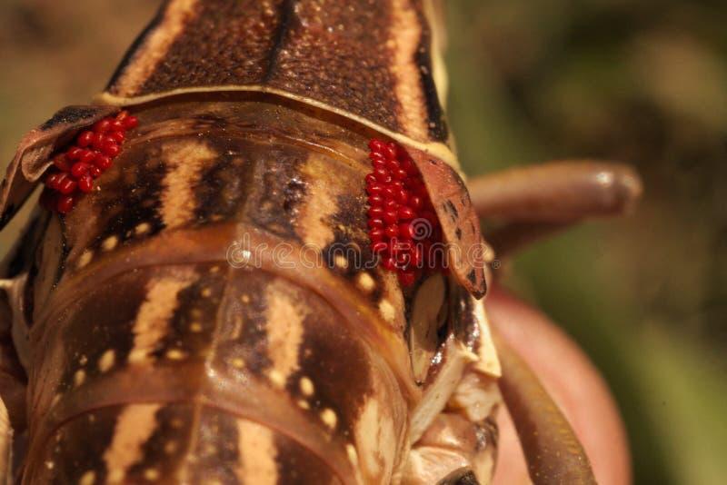 Macro femminile del Lubber della cavalletta di 444 pianure immagini stock libere da diritti
