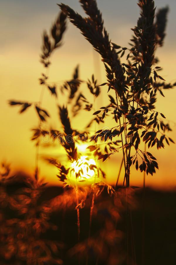 Filigree Grasses at beautiful sunrise. Macro of filigree Grasses at beautiful sunrise stock photos