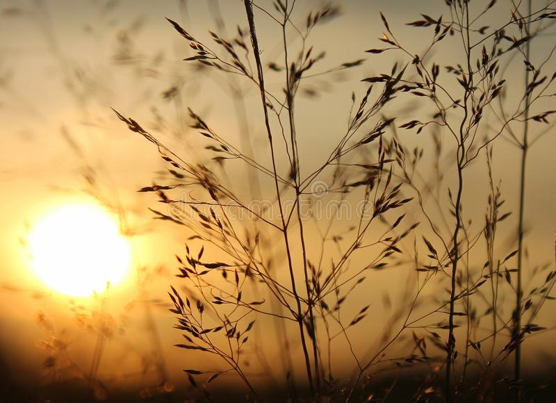 Filigree Grasses at beautiful sunrise. Macro of filigree Grasses at beautiful sunrise stock image