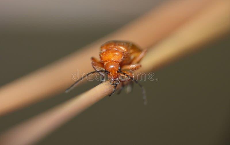 Macro fin d'une photo rouge commune de scarabée de soldat rentrée le mi été BRITANNIQUE photographie stock