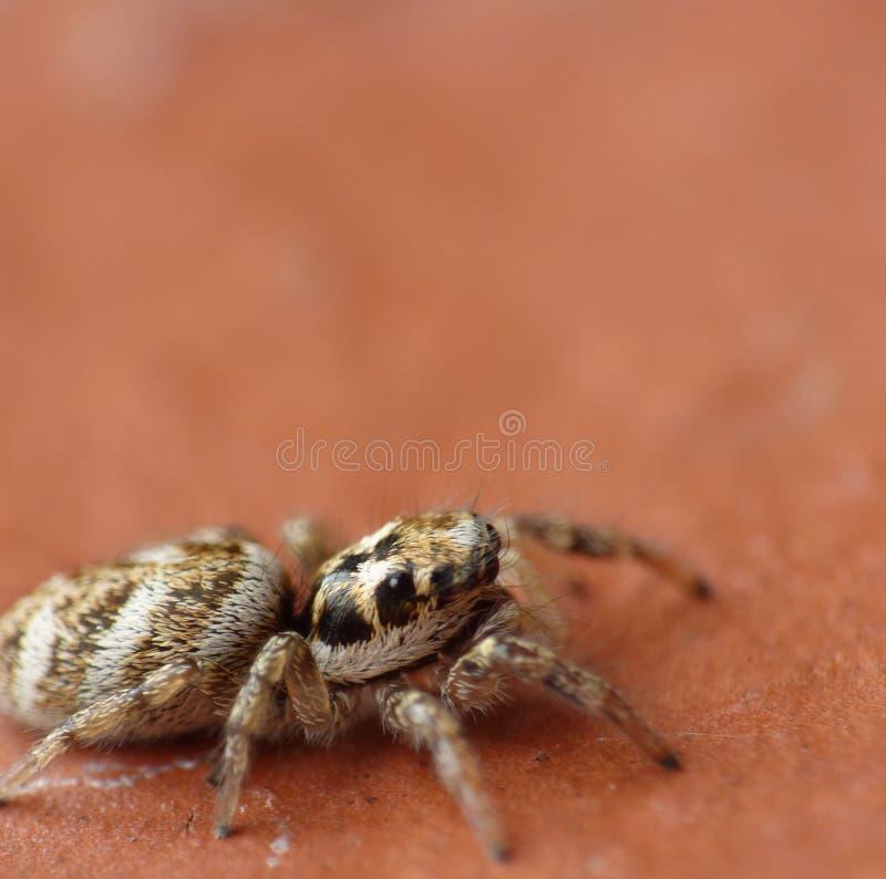 Macro fin de photographie d'une araignée sautante, photo rentrée le R-U photo stock