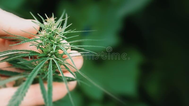 Macro fin des mains de scientifique vérifiant des usines de chanvre Concept de médecine parallèle de fines herbes, huile de CBD M image libre de droits