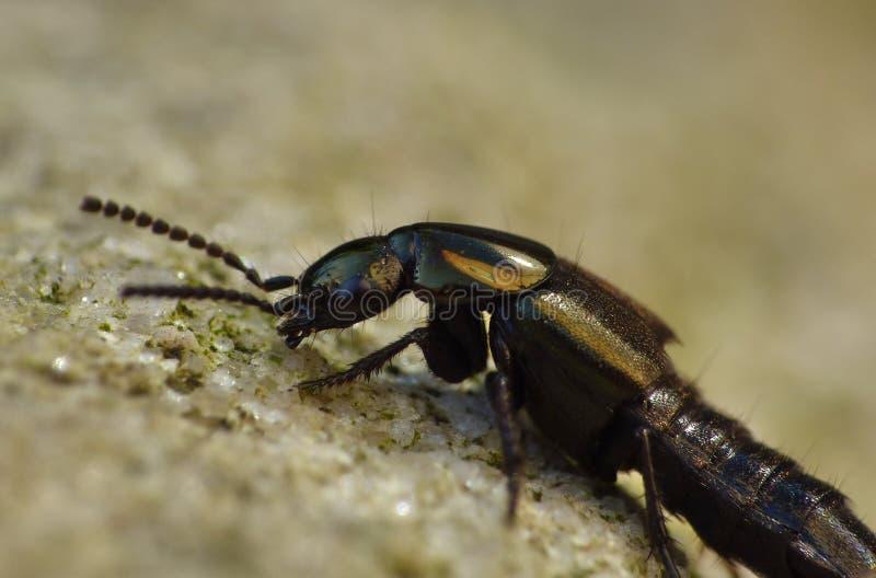 Macro fin du scarabée de cheval d'entraîneur d'un diable dans le jardin, photo rentrée le R-U photos libres de droits