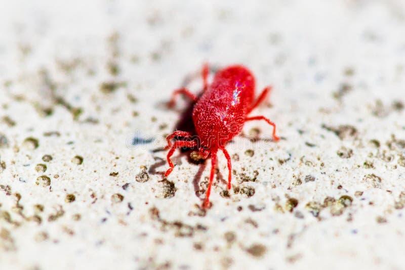 Macro fin rouge des acarides de holosericeum de Trombidium fonctionnant sur la pierre blanche images stock