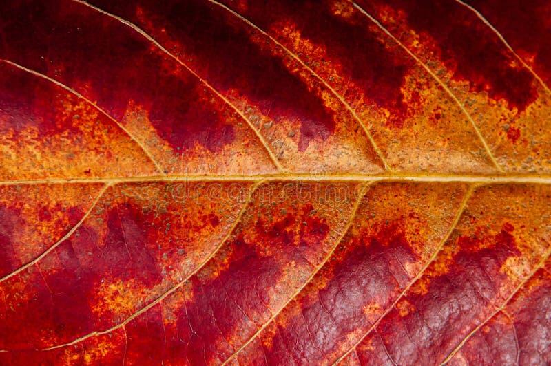 Macro fin vers le haut de détail jaune rouge de feuille d'automne avec des veines - fond d'abrégé sur feuille de nature photographie stock libre de droits
