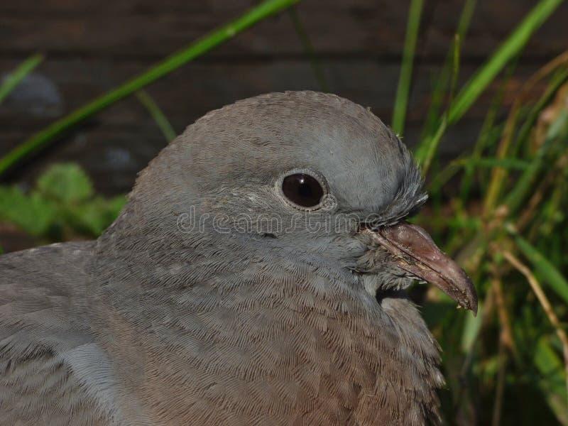 Macro fine su sparata di un piccione del bambino, foto contenuta il Regno Unito fotografia stock libera da diritti