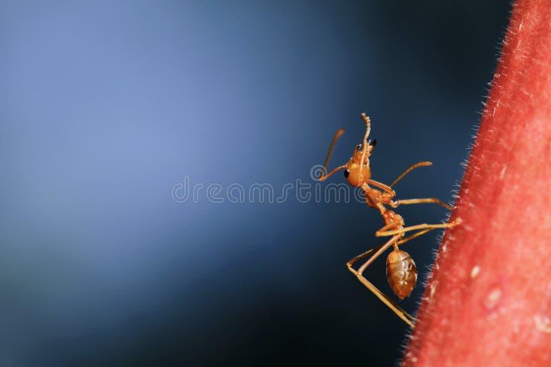 Macro fine sulla passeggiata della formica fotografia stock libera da diritti