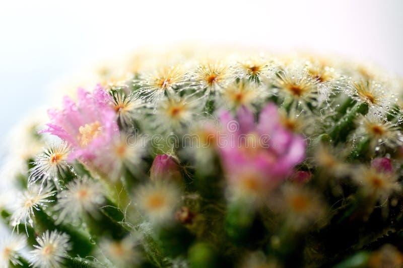 Macro fiore del cactus immagini stock libere da diritti
