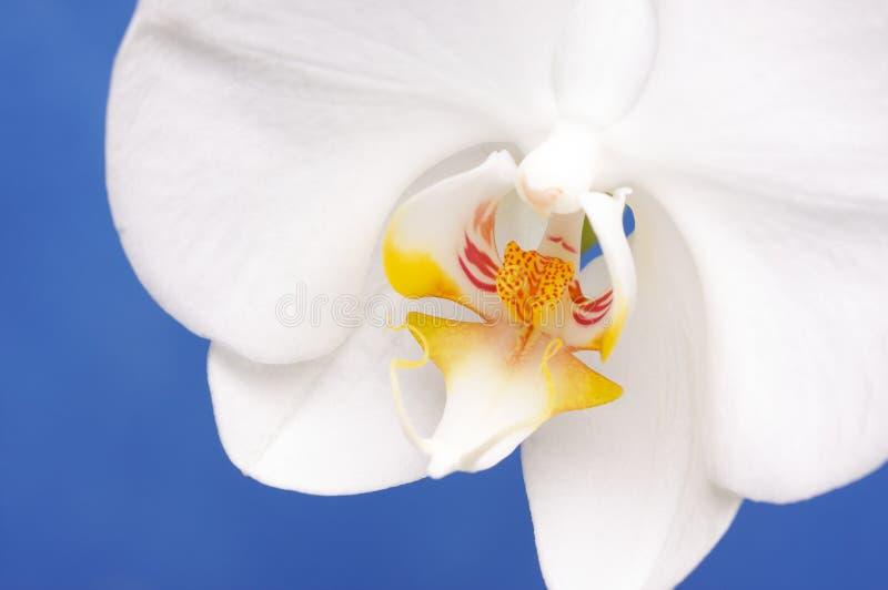 Macro fiore del fiore dell'orchidea fotografia stock