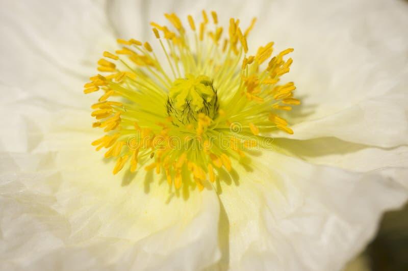 Macro fleur blanche de pavot d'Islande photographie stock libre de droits