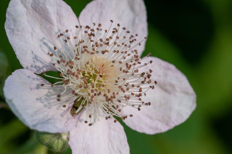 Macro fleur de bourgeon de mûre photos libres de droits