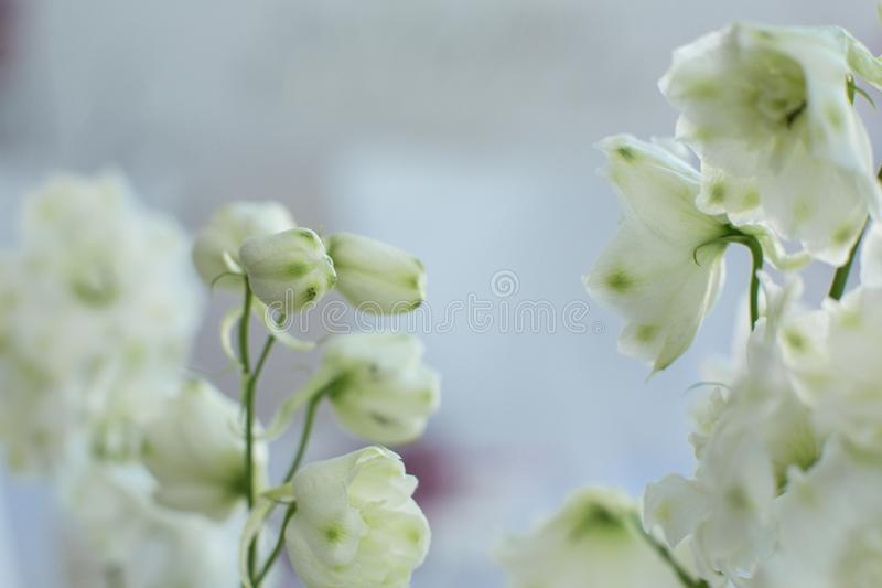 Macro fleur fraîche sensible de delphinum de wthite épouser la décoration de fleurs fraîches photos stock
