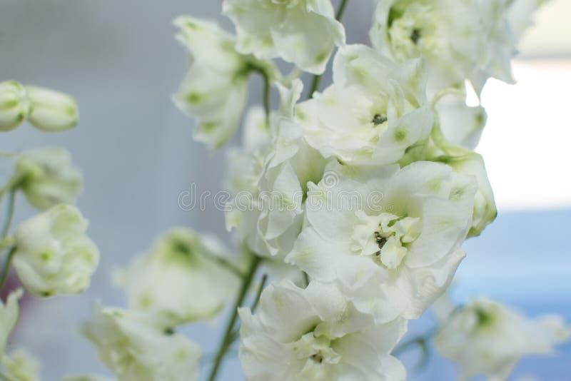 Macro fleur fraîche sensible de delphinum de wthite épouser la décoration de fleurs fraîches photo libre de droits