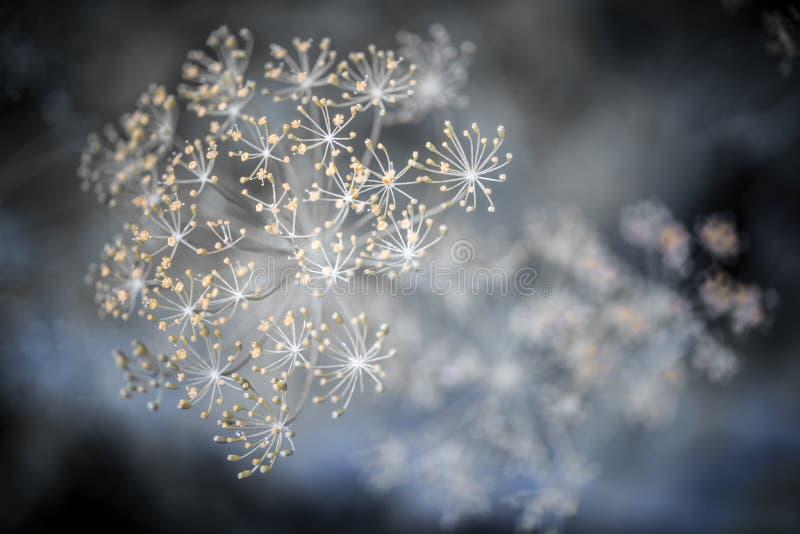 Macro fleurissant d'aneth photo stock