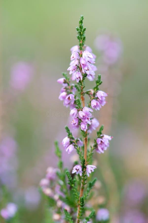 Macro fleurs de bruyère photos libres de droits