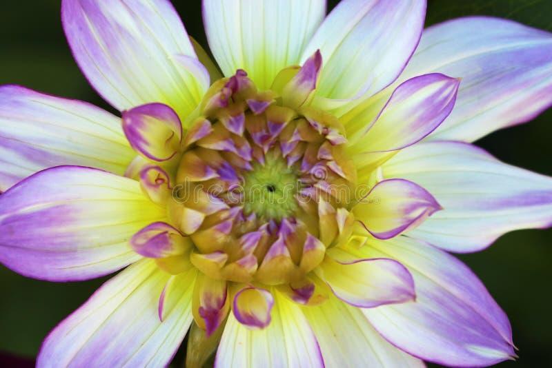 Macro floral al aire libre del color joven, cerca de los brotes abiertos, púrpuras de la dalia con la flor púrpura imagen de archivo libre de regalías