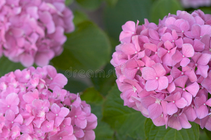 Macro - flores bonitas do Hydrangea fotografia de stock