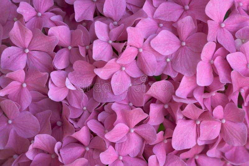 Macro - flores bonitas do Hydrangea imagens de stock royalty free