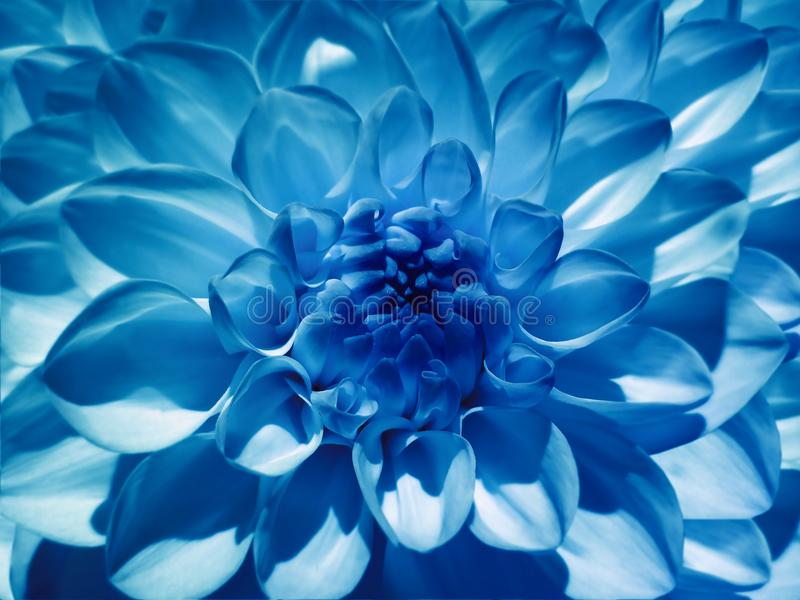 Macro flower blue dahlia. Background from a flower. Closeup. stock images