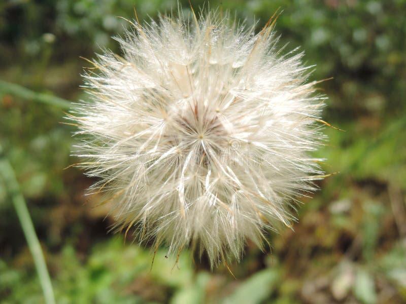 Macro fluffy blowball flower. Goat`s-beard like big white dandelion seed head. Summer herb.  royalty free stock image