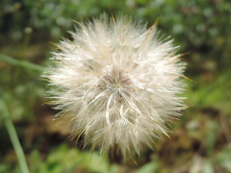 Macro fluffy blowball flower. Goat`s-beard like big white dandelion seed head. Summer herb. Tragopogon pratensis stock photography