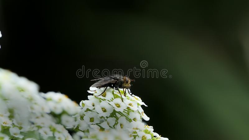 Macro of Fly with big eyes on white flower isolated on black background. Nature and wild life background. big insect on Lobularia stock photos