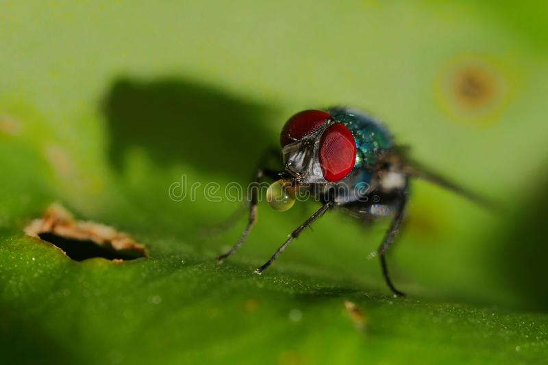 Macro of a fly drinking royalty free stock images