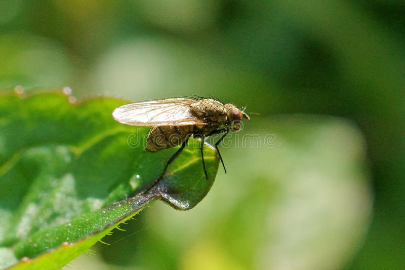 Macro of fly on a green leaf royalty free stock photo
