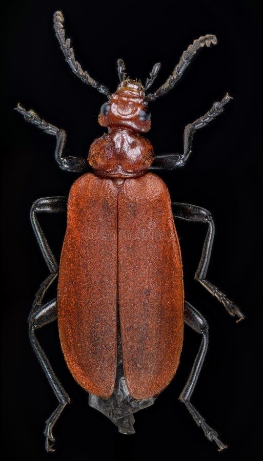 Red-headed Cardinal Beetle, Pyrochroa serraticornis stock image