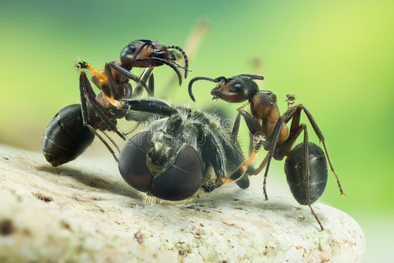 Wood ant, Ant, Ants, Formica rufa. Macro Focus Stacking - Wood ant, Ant, Ants, Formica rufa royalty free stock photos