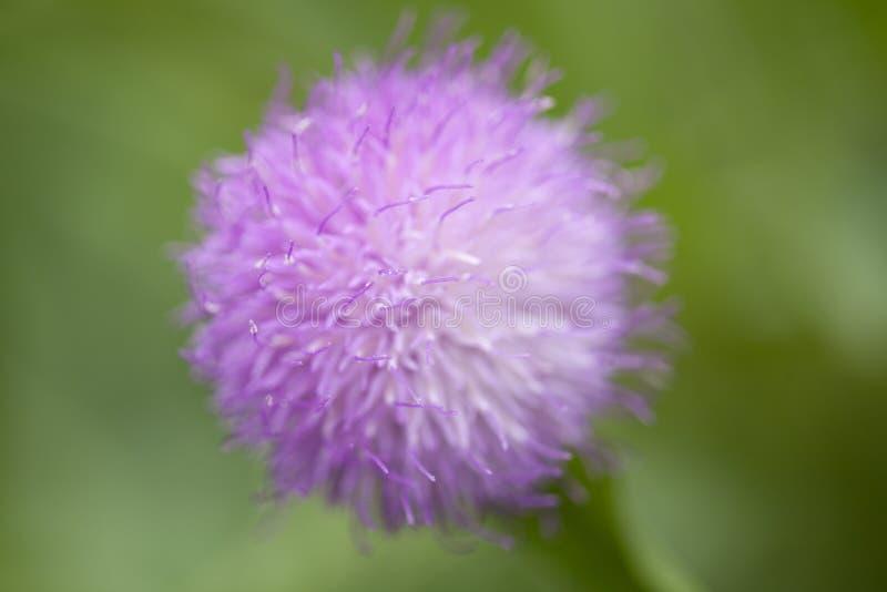 Macro fond floral naturel de falcisectu de Cheirolophus photo stock
