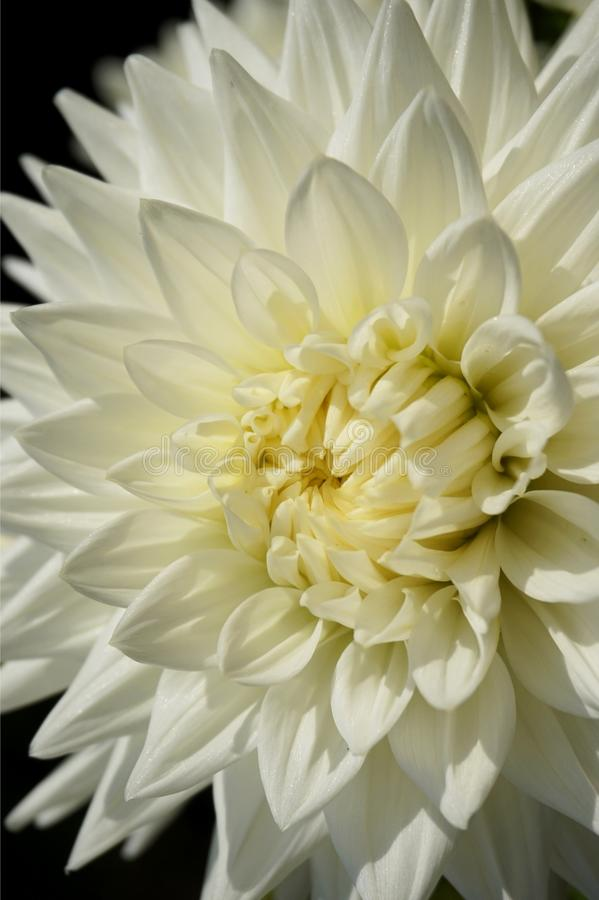 Closeup of a pure white dahlia blossom of the formal decorative type royalty free stock photo