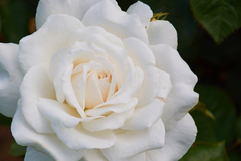 Macro foto a colori di una rosa bianca fotografia stock
