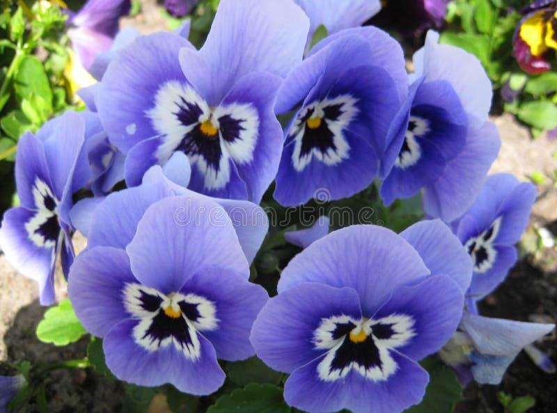 Macro foto con bello scopo delicato della droga di trÃcolor di VÃola dei fiori fotografia stock libera da diritti