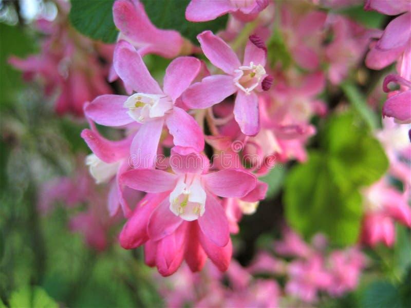 Macro foto con fondo decorativo di bei fiori delle piante selvatiche del ribes della frutta in tonalità rosa fotografie stock libere da diritti