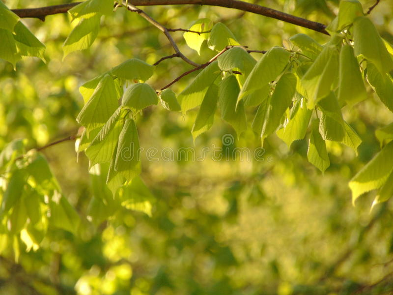Macro foto con le giovani foglie verdi del legno del tiglio sui precedenti diffusi verde chiaro fotografie stock libere da diritti