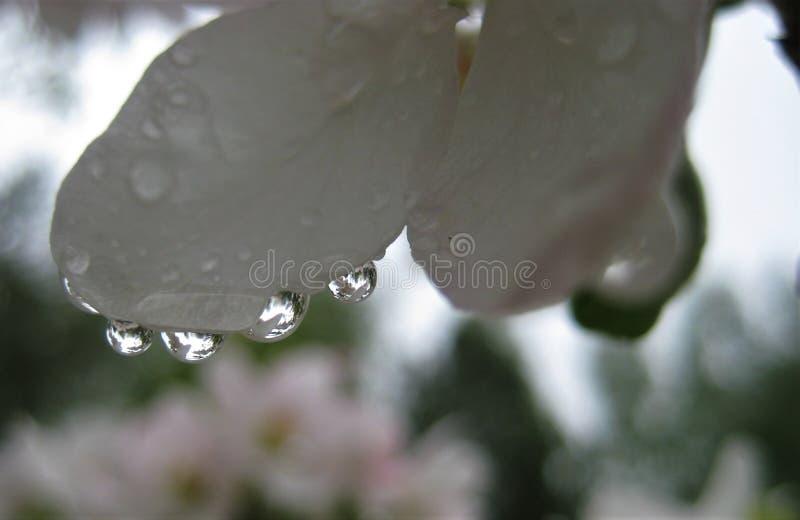 Macro foto con un fondo decorativo di bella riflessione dei fiori nelle gocce dell'acqua piovana sui petali del fiore bianco fotografia stock