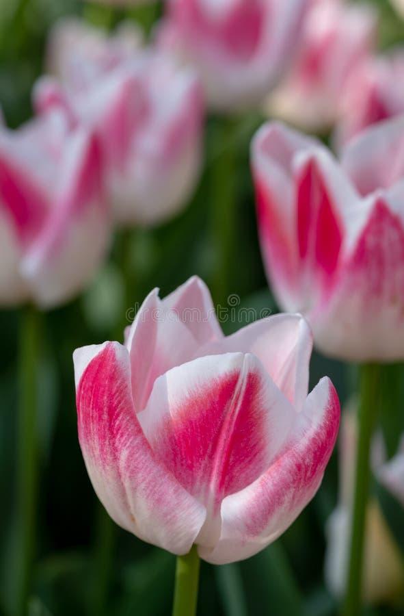 Macro foto dei tulipani bianchi e di rosa ai giardini di Keukenhof, Lisse, l'Olanda Meridionale Keukenhof ? conosciuto come il gi fotografia stock