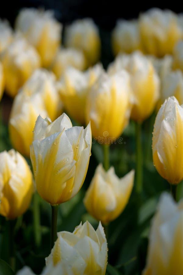 Macro foto dei tulipani bianchi e gialli ai giardini di Keukenhof, Lisse, l'Olanda Meridionale Keukenhof ? conosciuto come il gia fotografia stock libera da diritti