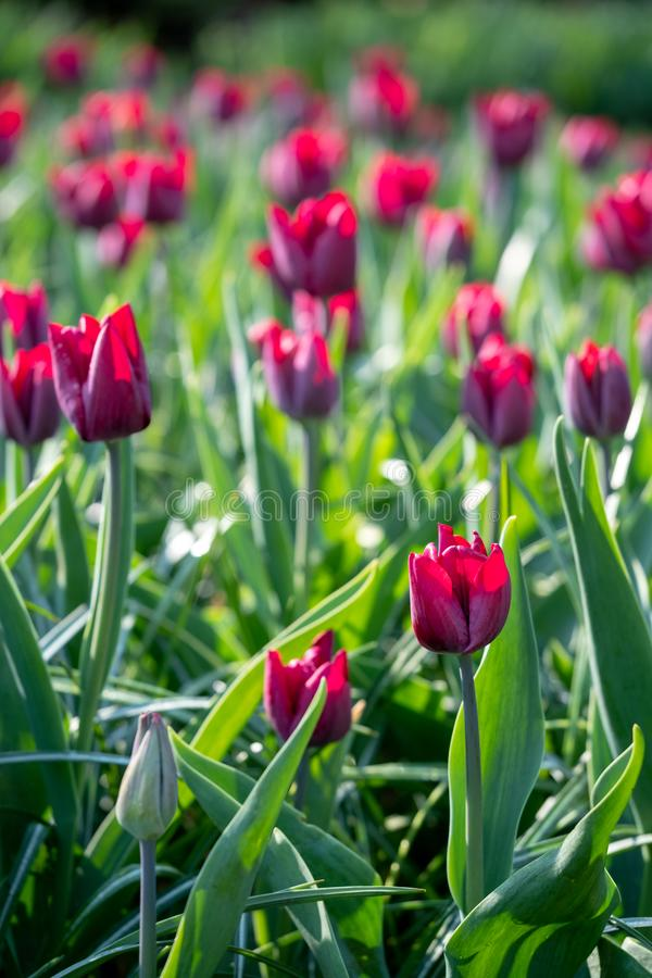 Macro foto dei tulipani rosa accesi dal sole ai giardini di Keukenhof, Lisse, l'Olanda Meridionale Keukenhof ? conosciuto come il fotografie stock libere da diritti